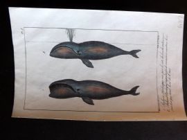 Lacepede & Oudart C1830 Hand Col Fish Print. Baleen Whale 05